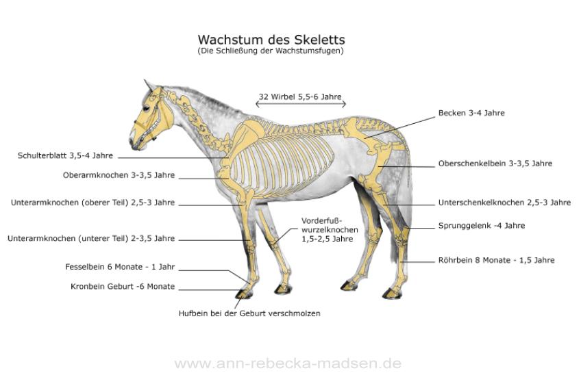 Wachstum beim Pferd